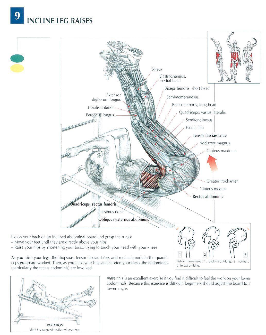 the anatomy of stiff leg deadlift leg raises raising and legs. Black Bedroom Furniture Sets. Home Design Ideas