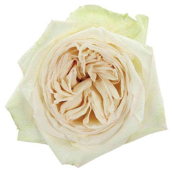 White O Hara Garden Rose (600×600)