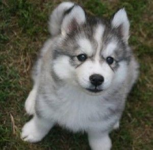 Siberian Husky Husky Puppy Siberian Husky Puppies Cute Puppies