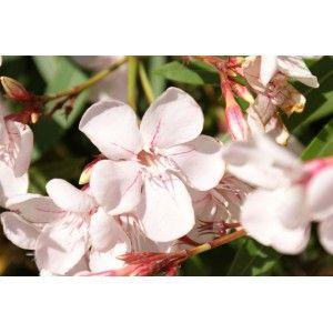 Laurier Rose Harriet Newding Nerium Floral Power Pinterest