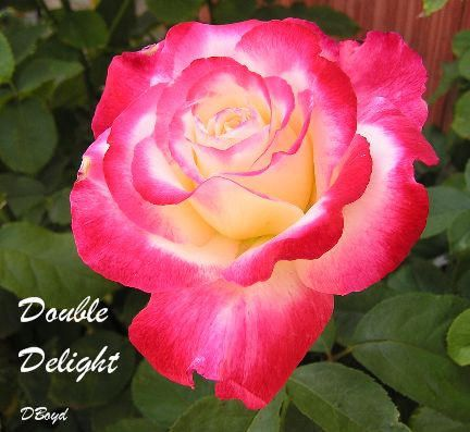 Double Delight Rose From Home Depot With Images Hybrid Tea Roses Tea Rose Garden Hybrid Tea Roses Garden