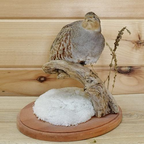 Hungarian Partridge Taxidermy Mount - SW1790 for sale at