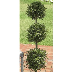 2.84-Gallon Eugenia Topiary (L20938hp)