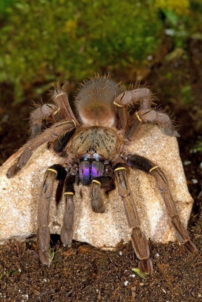 Blue fang skeleton tarantula (Ephebopus cyanognathus