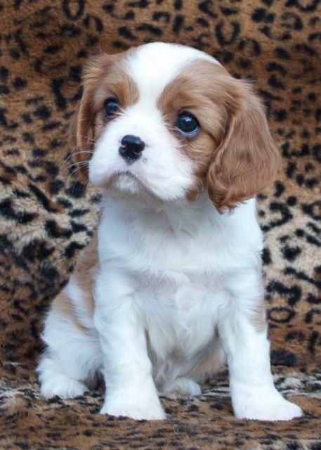 King Charles Cavalier. I want one so bad, but at least I