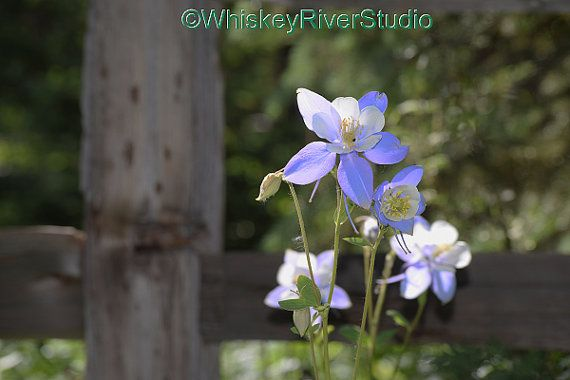 Wild Columbines at Piney Ranch print. Canvas by WhiskeyRiverStudio