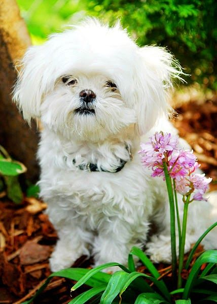 6 Smallest Dog Breeds 5 The Maltese Is A Small Breed Of Dog In The Toy Group It Descends From Dogs Originating In The Ce Maltese Dogs Maltese Dogs Care Dogs