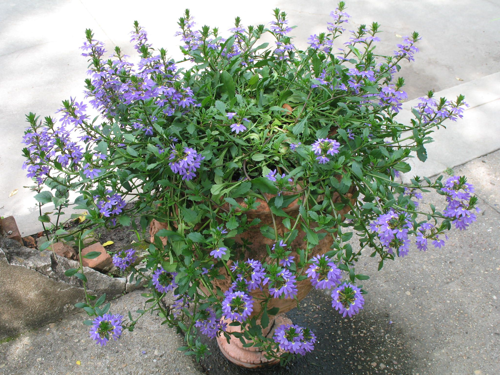 Fan flower scaevola aemula 10 15 tall blue fan is a good this is a excellent selection of the fan flower it produces draping foliage covered with blue flowers this perennial is well adapted to well drained soil mightylinksfo Image collections