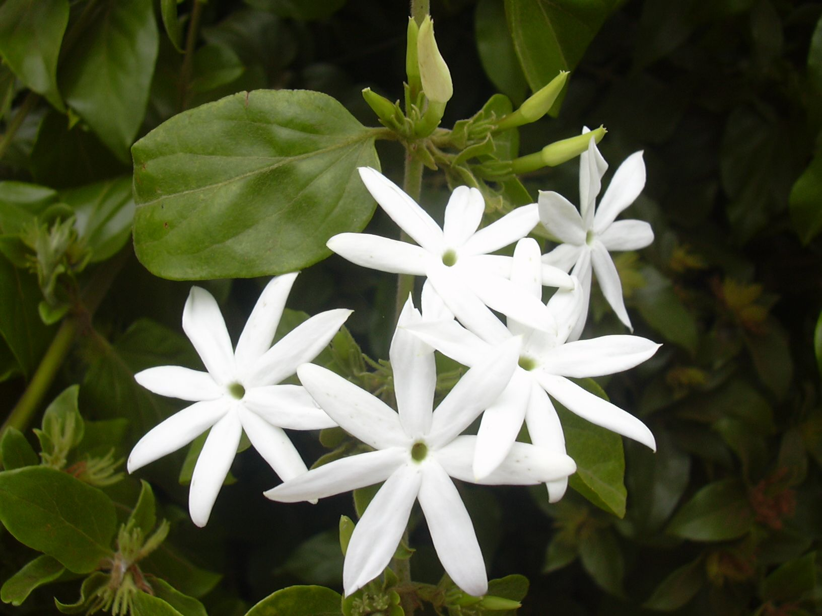 Pin by synopsis on plants pinterest flowers jasmine and plants bulk jasmine essential oil in therapeutic grade izmirmasajfo