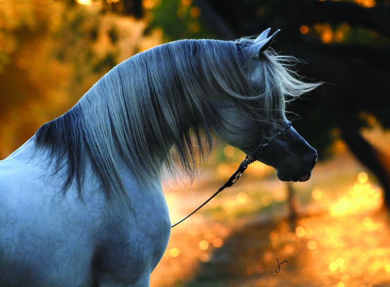 Baha AA :: Arabian horses of Aria International - Arabian horses, stallions, mares, colts, fillies, for sale