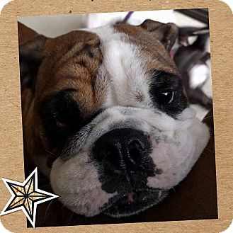 Las Vegas Nv Bulldog Meet Rocky A Dog For Adoption Http