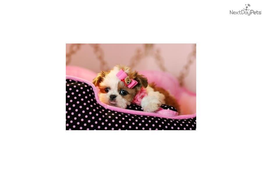 Www Teacuppuppiesstore Com Shih Tzu Lap Dog Breeds Shih Tzu Shih Tzu Puppy