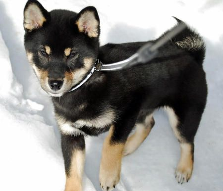 Hachi is a mischievous Shiba Inu who lives in New Jersey