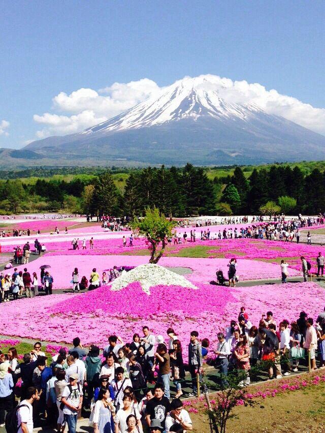 fuji shibazakura stunning place