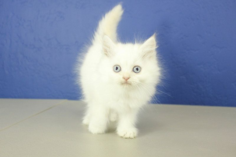 Karma Cream Pointed Female Teacup Ragamuffin Kitten Ragdoll