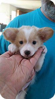 Salisbury Nc Corgi Pomeranian Mix Meet Teddy Roosevelt A Puppy For Adoption Corgi Pomeranian Mix Corgi Mix Puppies Corgi Husky Mix