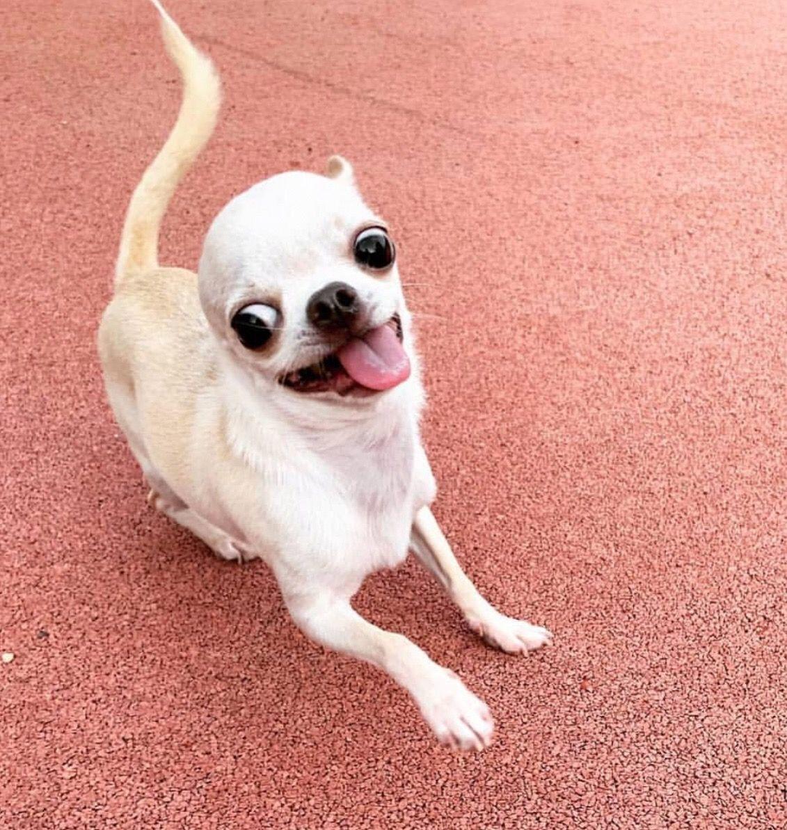 Chihuahua Dog Chiwawa Dog Information Chihuahua Chihuahua Love