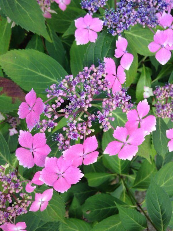 Free Plant Identification Hydrangea garden, Hydrangea