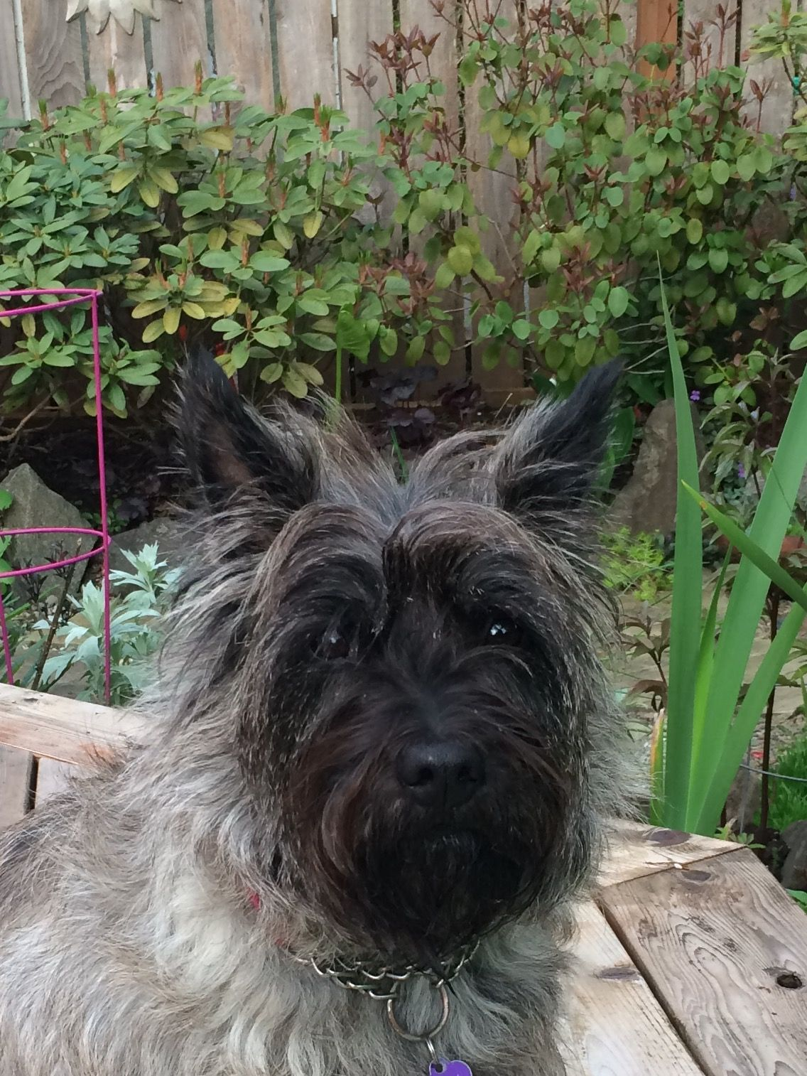 Pin By Eileen Connor On Cairn Terrier Talulah Aka Tula Cairn