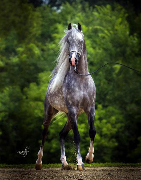 Master Jullyen V Arabian Grey Beauty Hest Horse Animal Gorgeous Beuatiful Photograph Photo Horses Horse Breeds Grey Horse