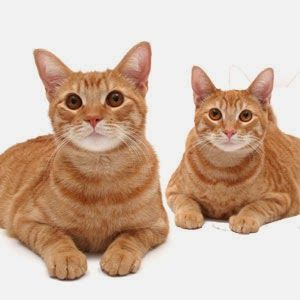 Are All Orange Tabby Cats Male And Are All Calico Cats Female