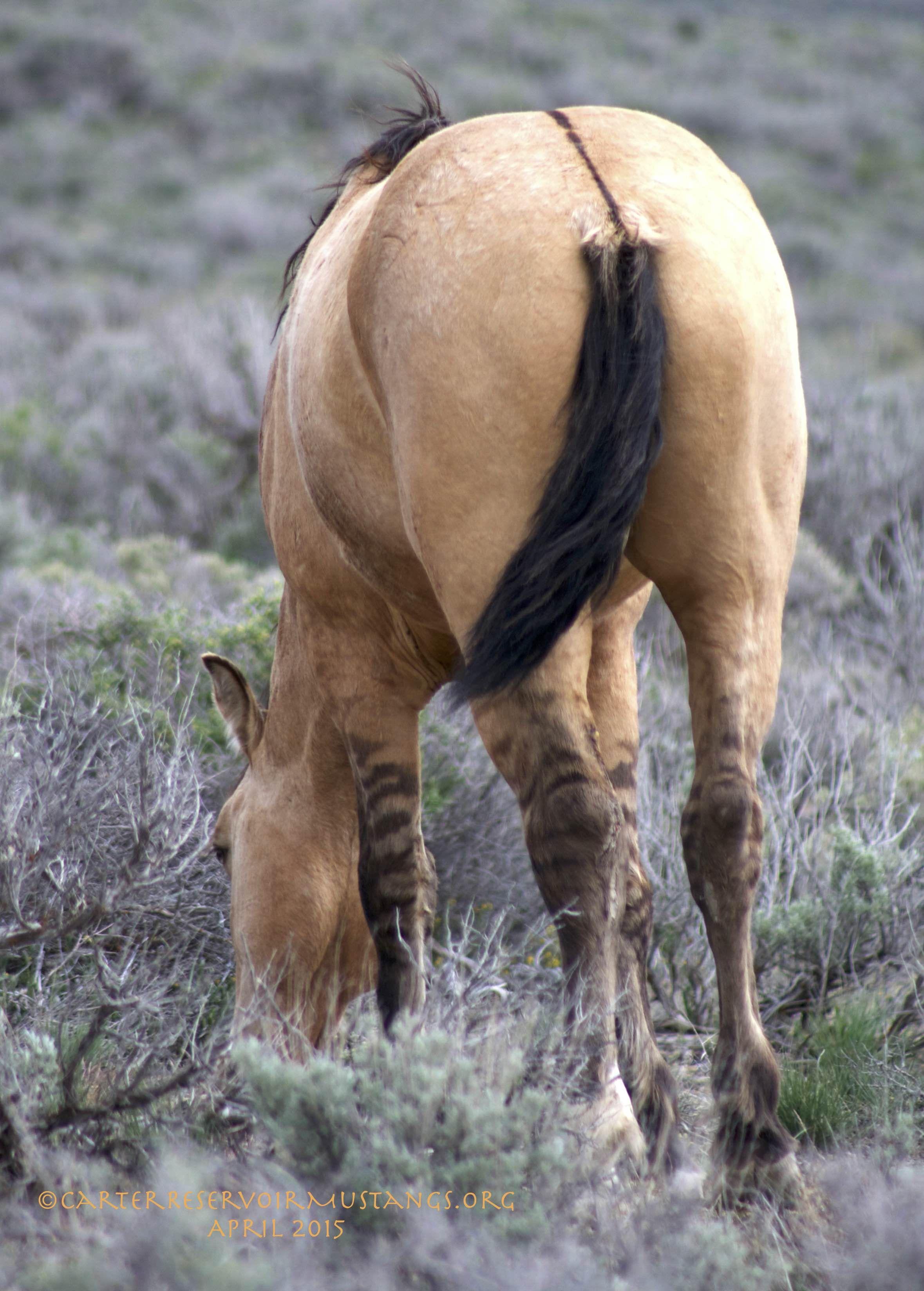 Carter Reservoir Wild Horse dun factor stripes! Wild