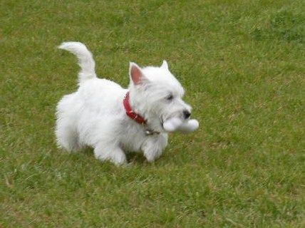 West Highland White Terrier Puppy For Sale In Texas Westie