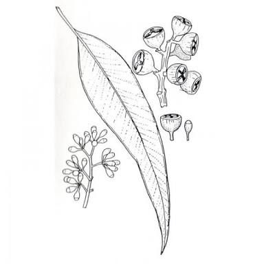 Image Result For Eucalyptus Simple Drawing Plant Drawing Leaf