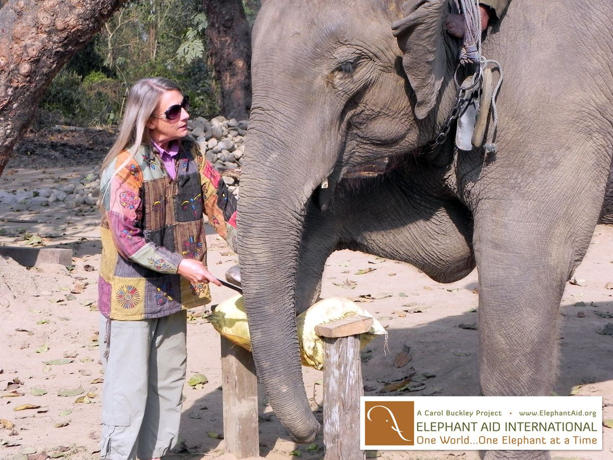 Carol Buckley, an international leader in the care and trauma recovery of elephants, is founder and President/CEO of Elephant Aid International. www.ElephantAidInternational.org #elephant