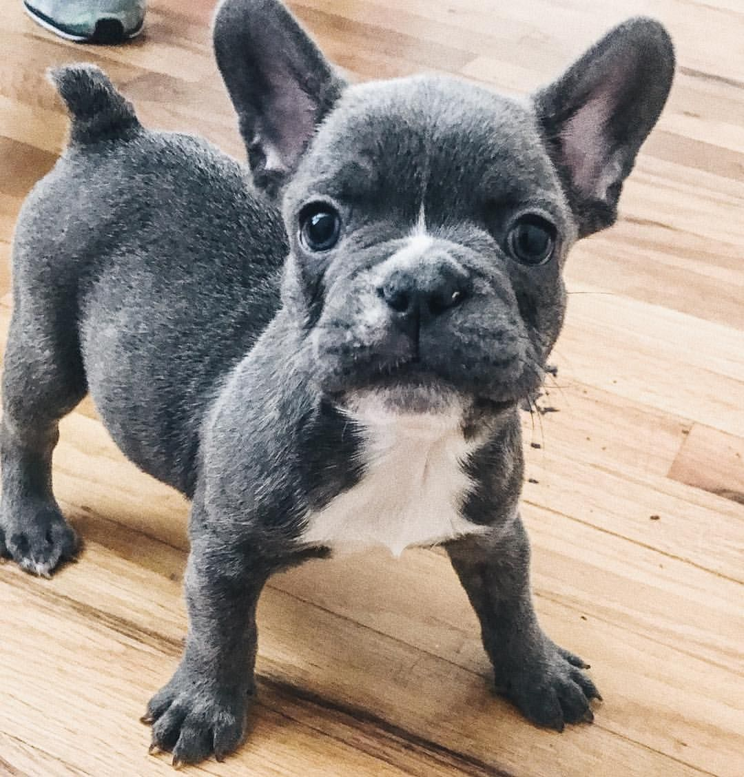 Hank The Blue French Bulldog Puppy White French Bulldog Puppies French Bulldog Blue Blue French Bulldog Puppies