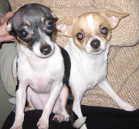 Chihuahua Chihuahua Dogs Teacup Chihuahua Puppies Teacup Chihuahua