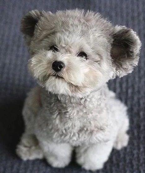 Pin By Tracy Hughes On Animal World Teddy Bear Dog Teddy Bear Puppies Bear Dog