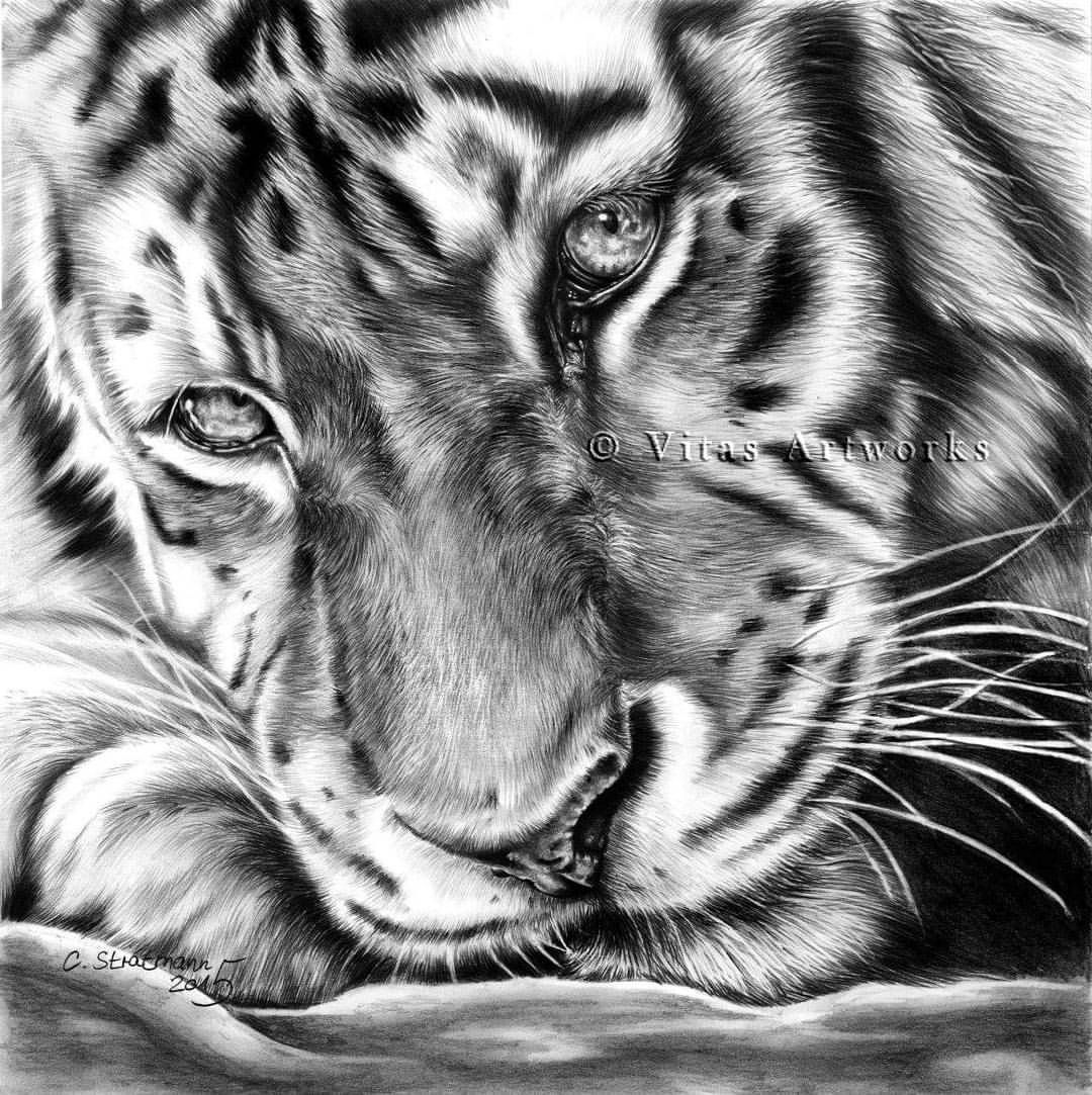 Tiger, graphite | Bleistift, 30cm x 30cm from 2015 Reference photo ...