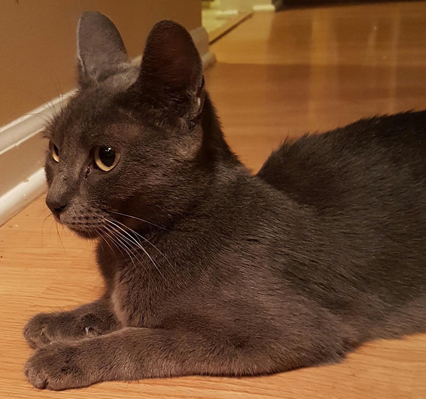 Adopt Flo On Russian Blue Cat Blue Cats Russian Blue