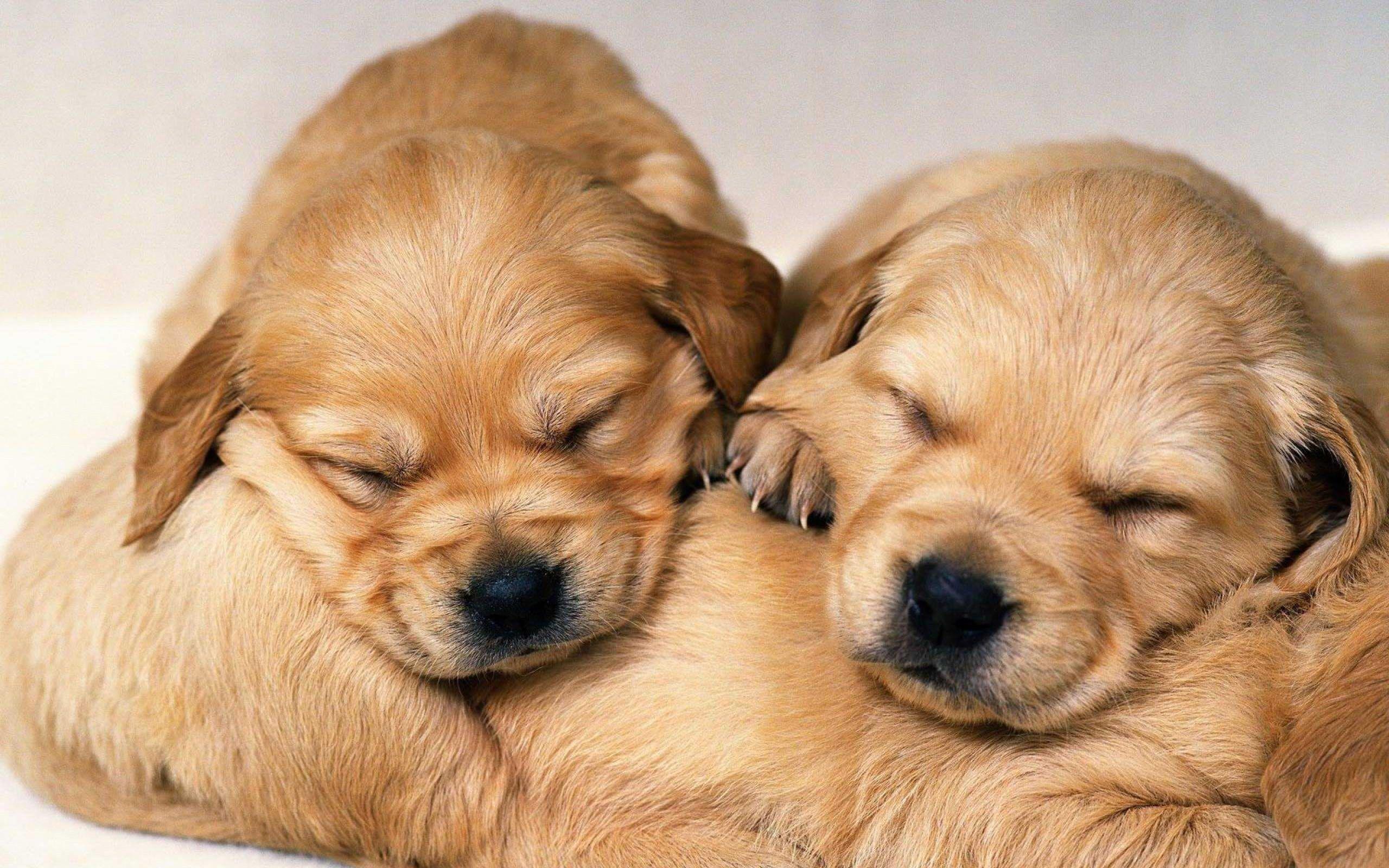 Cute Three Little White Puppies Sleeping To her Sleepy Puppy