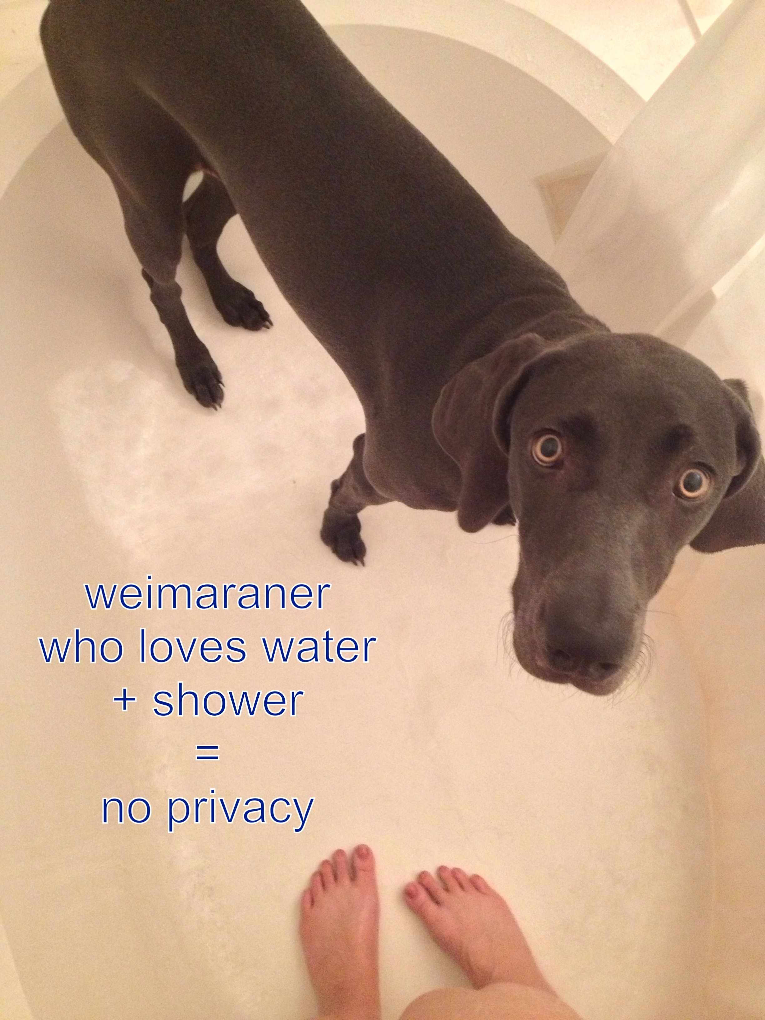 Weimaraner Problems Oh My Goodness This Is Hilarious Dixie