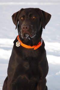 Labrador Dog Names Yellow Lab Names Chocolate Lab Names And Black Lab Names Labrador Dog Labrador Retriever Labrador