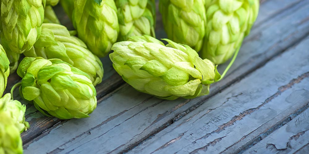 Galena Hops The First American High Alpha Hop Variety