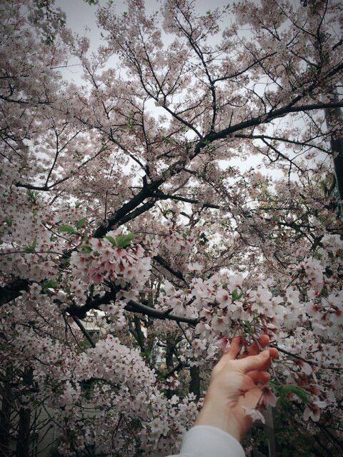 桜… 植村あかり の画像 Juice=Juiceオフィシャルブログ Powered by Ameba