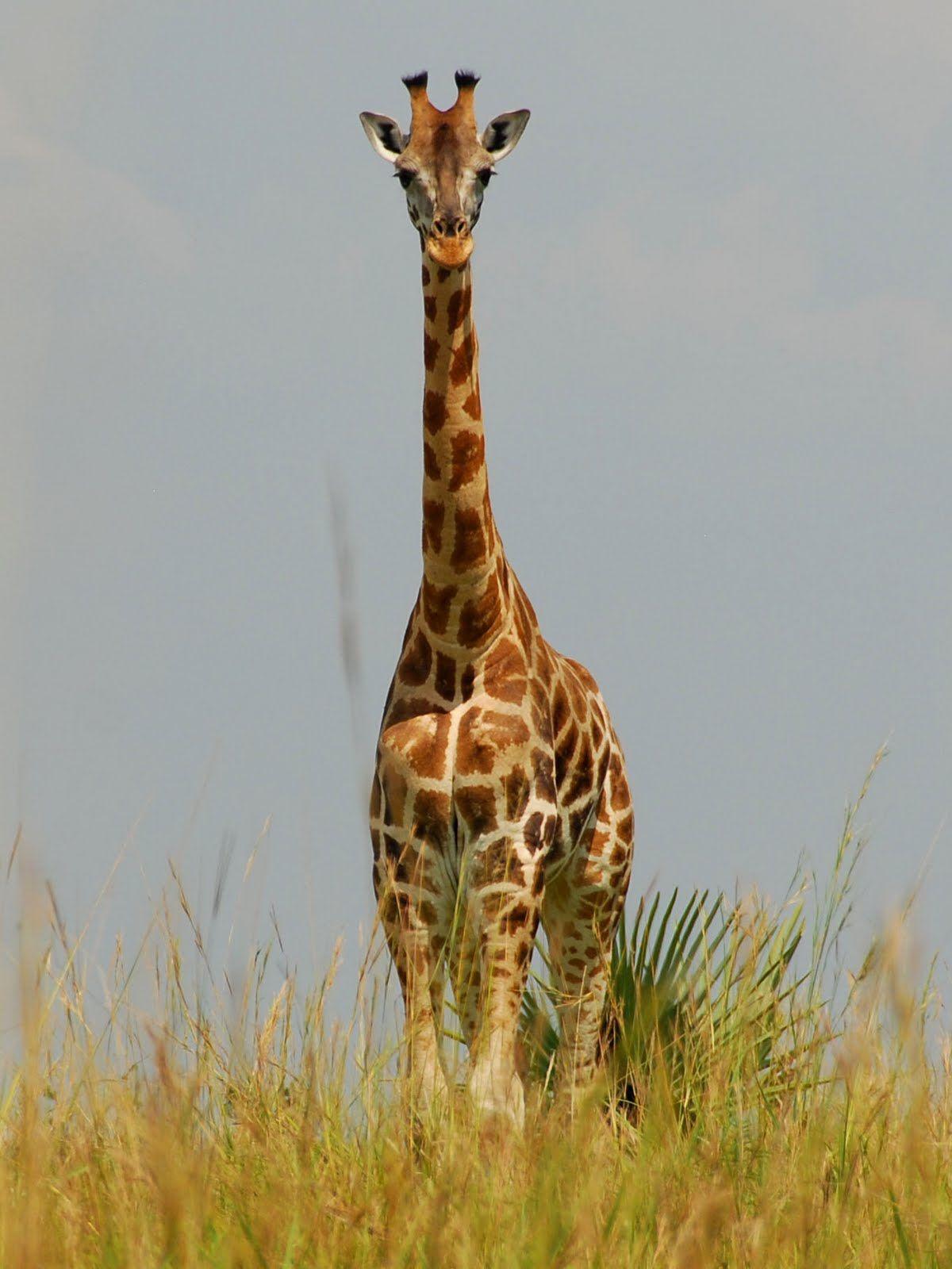 Giraffe savanna grasslands VBS wild animals Pinterest
