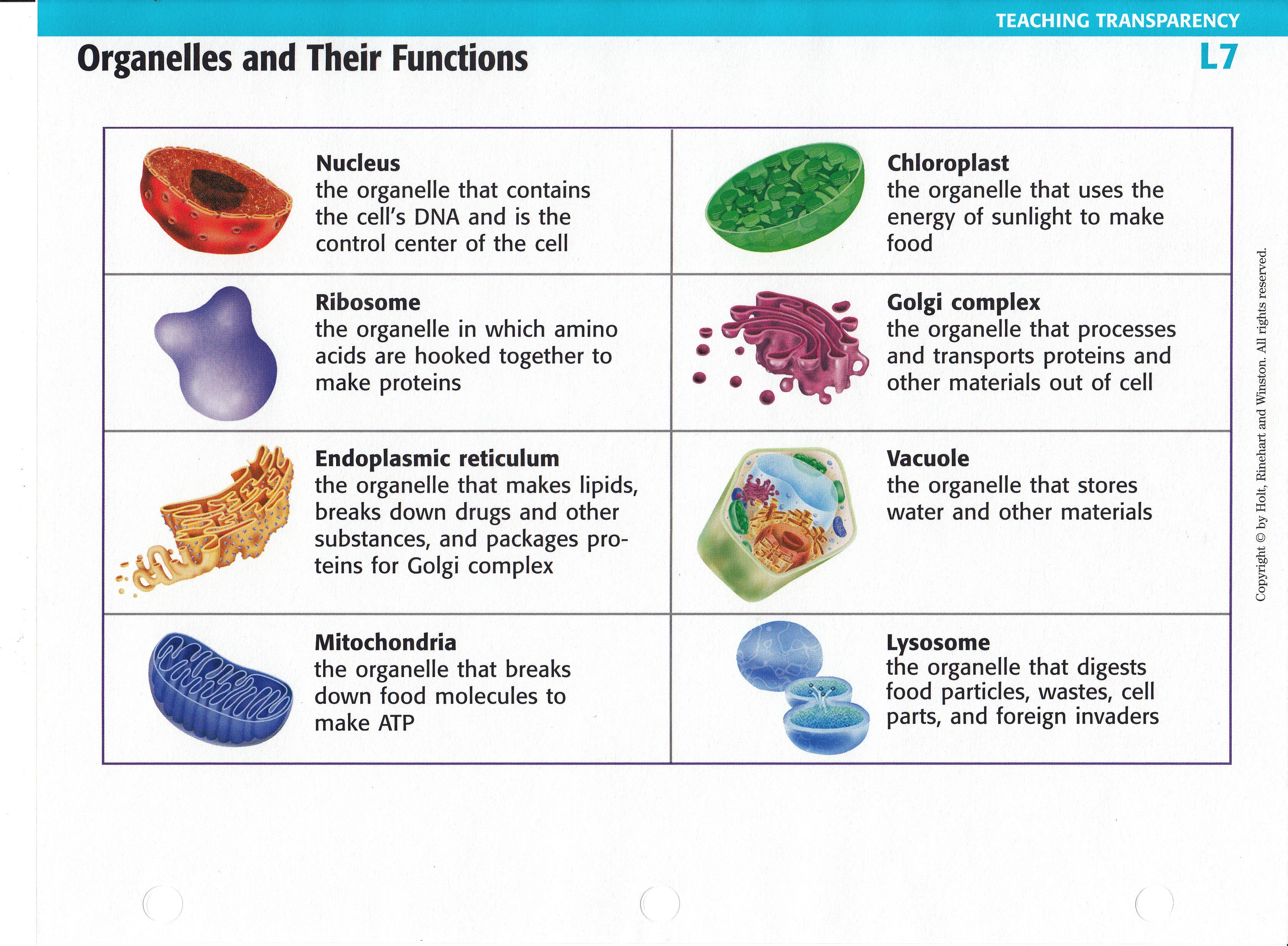Image Result For Cell Organelles With Images