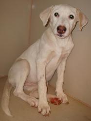 Adopt Juliette On Cool Pets Labrador Retriever Dog Labrador