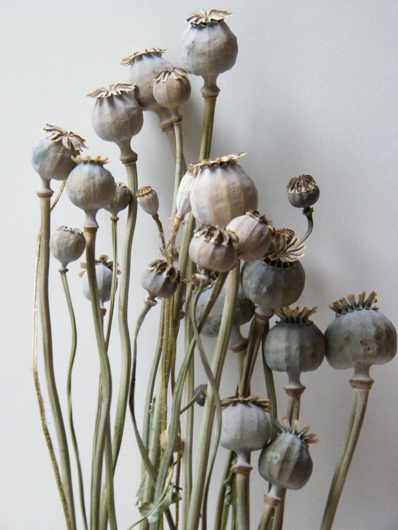Dried seed heads for flower arranging uk google search flora dried seed heads for flower arranging uk google search mightylinksfo