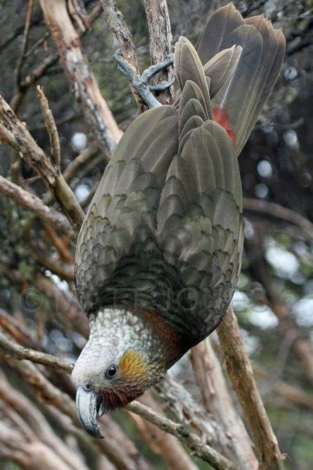 Kaka, New Zealand, Stewart Island.