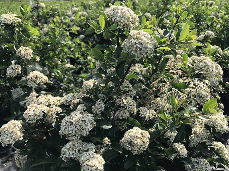 Mohave pyracantha vigorous upright thorny evergreen shrub with an mohave pyracantha vigorous upright thorny evergreen shrub with an abundance of white flowers in spring mightylinksfo