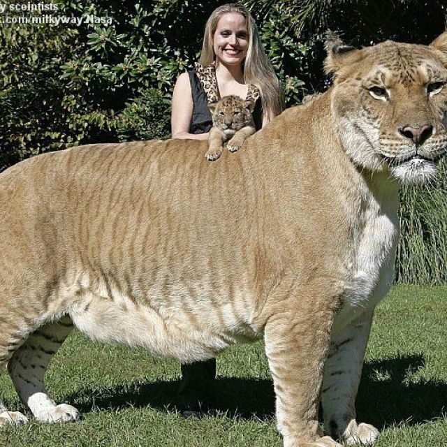 It's a real Liger!!! | Cutest Pets Ever | Rare animals