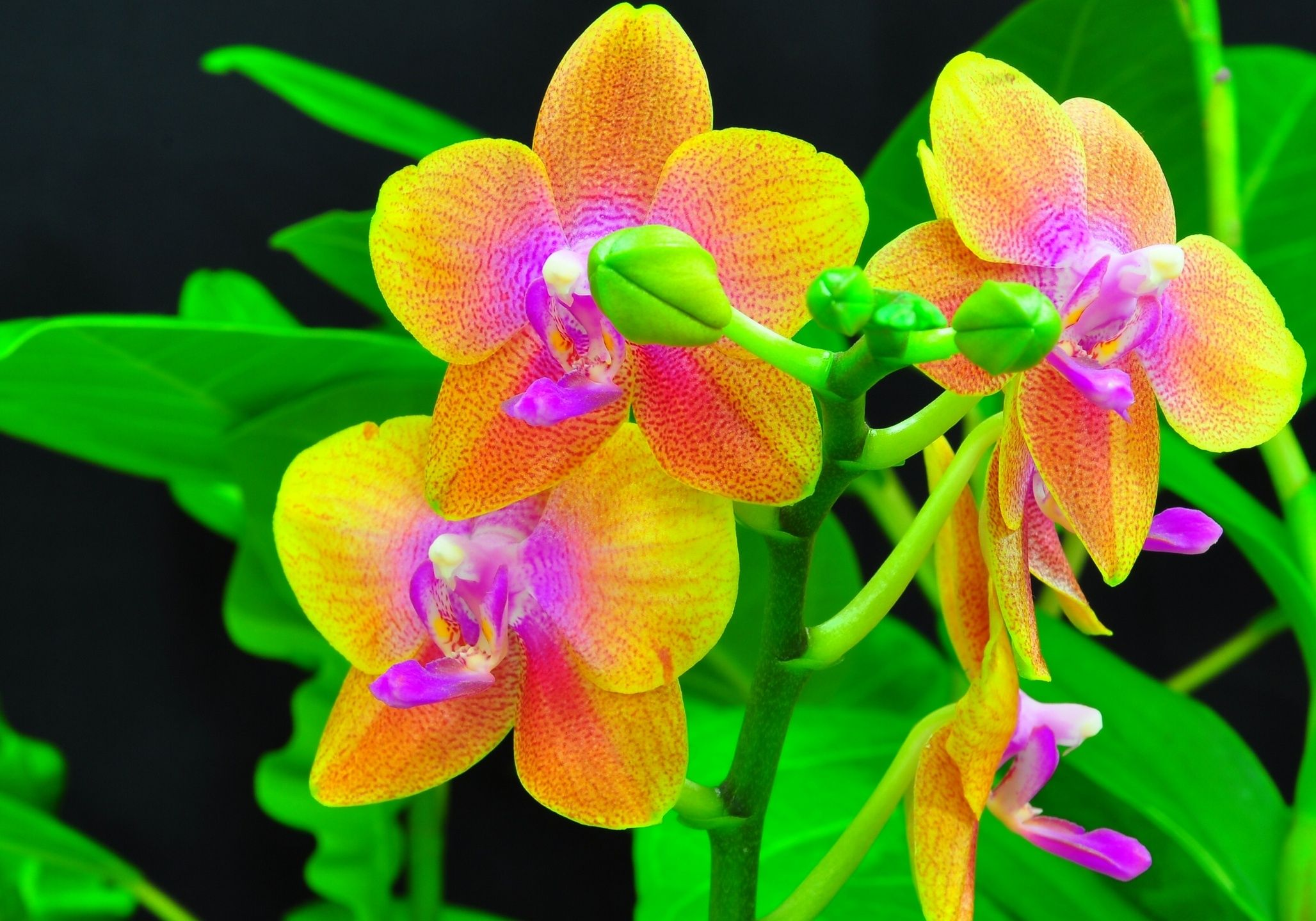 Orchid wallpapers for free download orchid high quality art