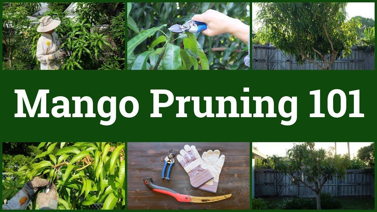 Mango pruning 101 tree care mango tree pruning fruit trees