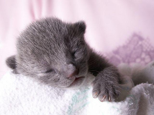 Russian Blue Kitten Russian Blue Kitten Sleeping Kitten