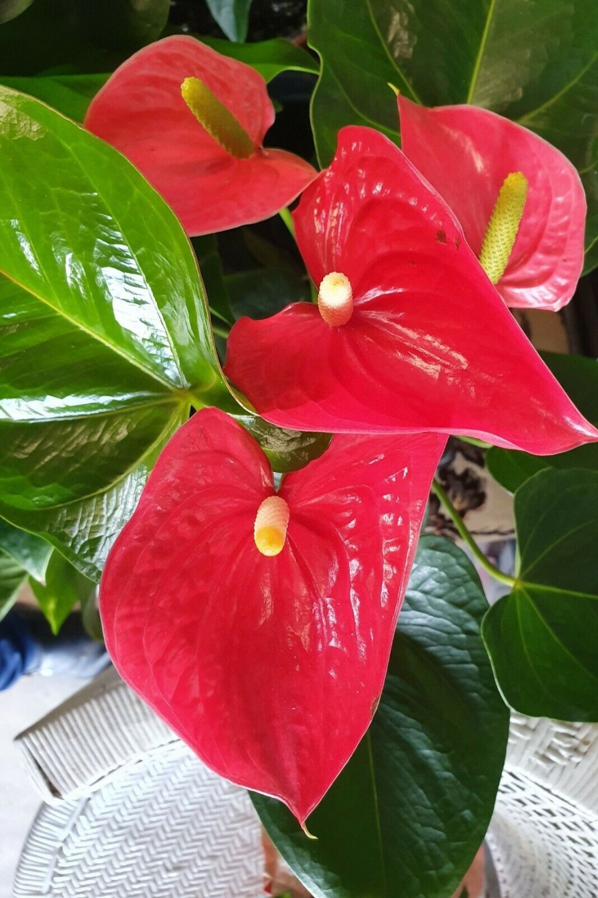Anthurium House Plant Large Red 4 Inch Pot Anthurium Plant House Plants Anthurium